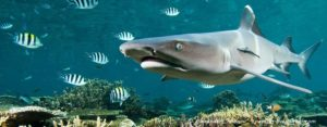 The Shark Reef Marine Reserve: a marine tourism project in Fiji involving local communities