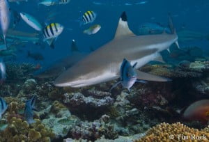 Black tip shark by Tim Rock