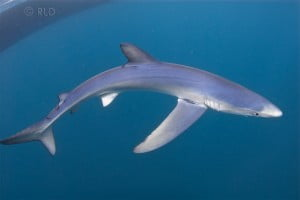 Blue Shark by Robert Lupo Dion