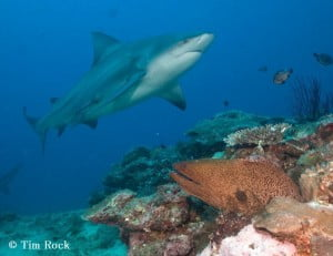 Bull Shark - Tim Rock