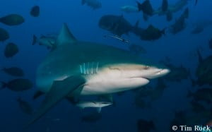 Bull shark by  Tim Rock