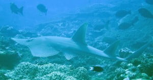 Whitespotted wedgefish – Guitarfish
