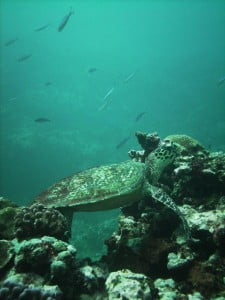 Hawksbill Turtle by Alex Hill