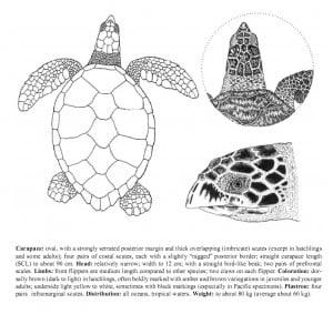 Hawksbill Turtle identification