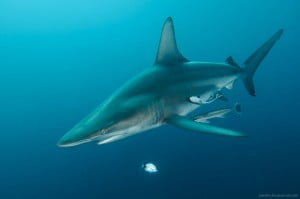 Oceanic blacktip shark by Alexander Safonov