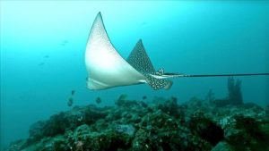 Ocellated eagle ray Photo: Beqa Adventure Divers