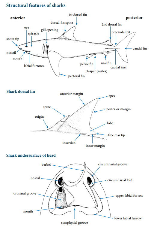 Structural features of sharks