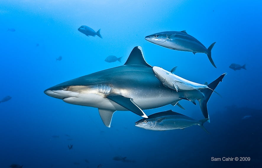 Silver Tip Shark in Fiji
