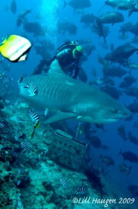Tiger Shark in Fiji