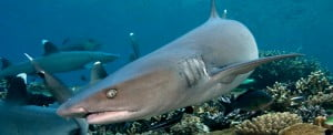 White Tip Shark Header