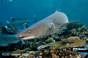 White tip sharks