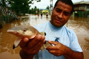 Wrong turn ... the baby reef blacktip shark that was found in floodwaters in Nadi a fortnight ago