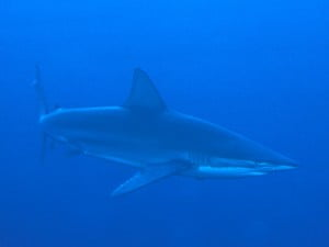 Bronze whaler shark in the blue