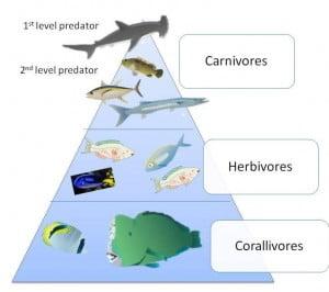 Ocean Food Pyramid
