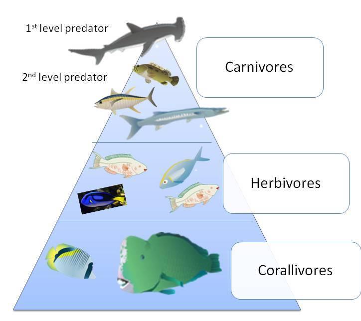 ocean food pyramid - 724×644