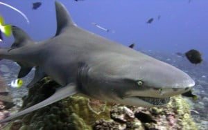 Lemon Shark Negaprion brevirostris